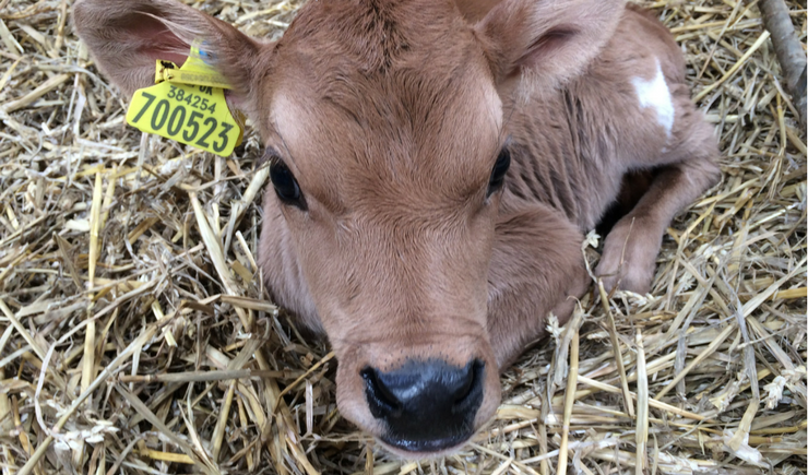 Gallery of Baby Calves born here on Little Callestock Farm in 2018