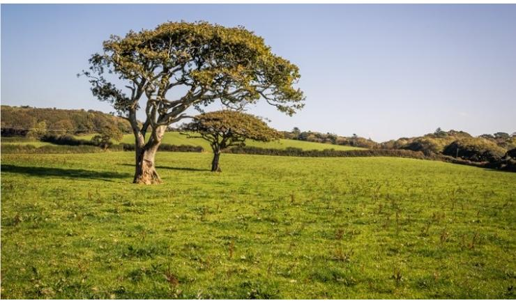 The Old Oak Trees in Pool Field at Callestock in Cornwall