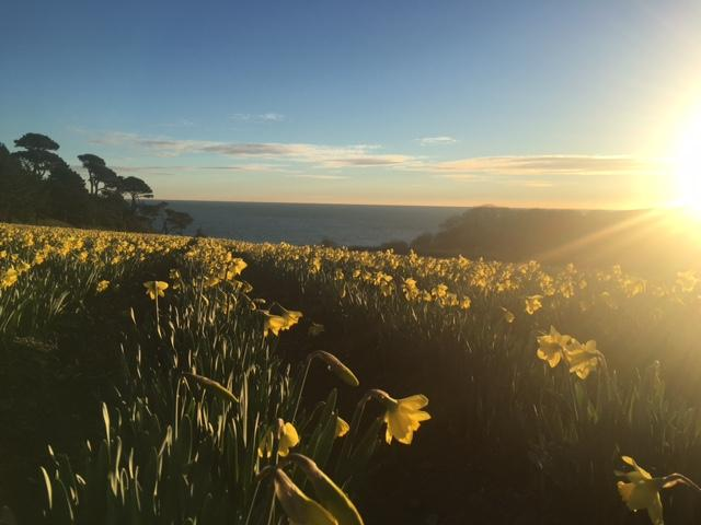 Daffodils by the sea.